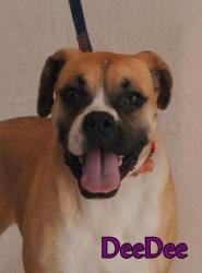 Dee Dee is an adoptable Boxer Dog in Du Quoin, IL. Dee Dee is a2 yr old female Boxer who weighs 50 lbs. She is calm, mello, sweet, beautiful and adorable. She has a very expressive face that makes yo...