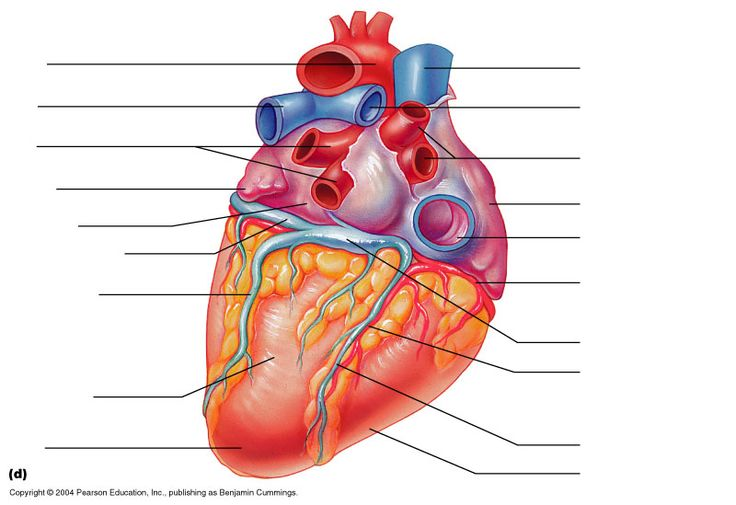 Posterior heart unlabeled diagrams collection of wiring diagram 8 best a p images on pinterest anatomy heart diagram and anatomy rh pinterest co uk heart anatomy unlabeled answer key for heart diagrams ccuart Images
