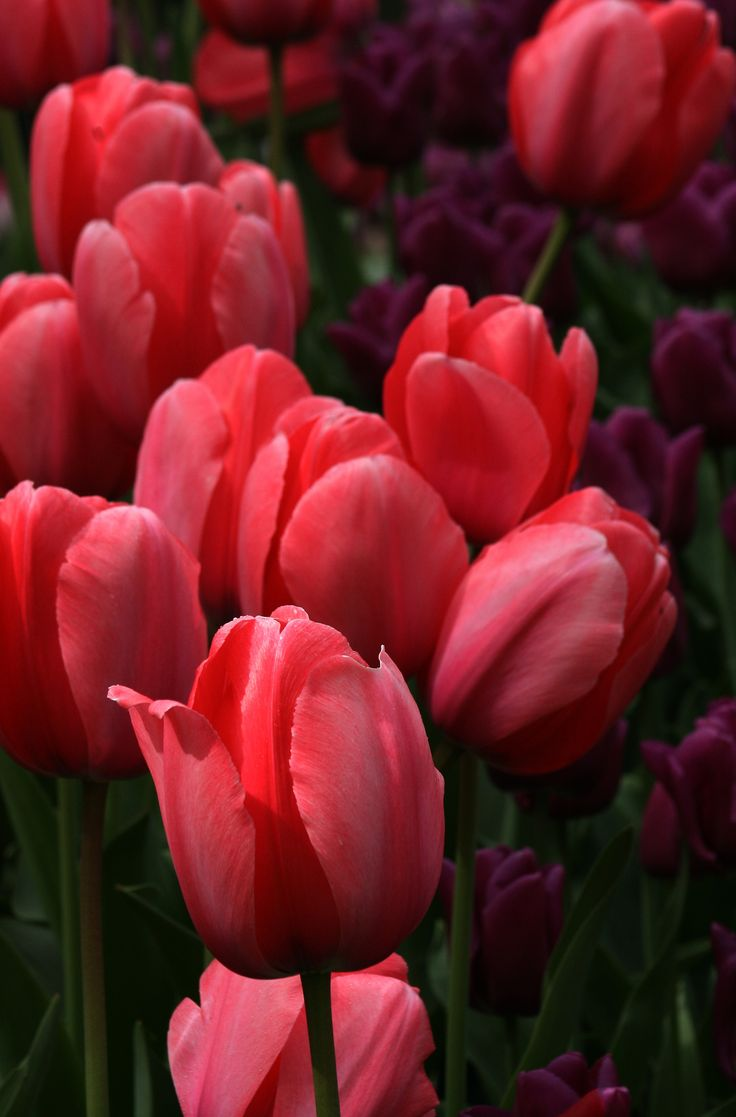 Tulips In The Italian Sunken Garden: 118 Best Images About Flowers - Tulips On Pinterest