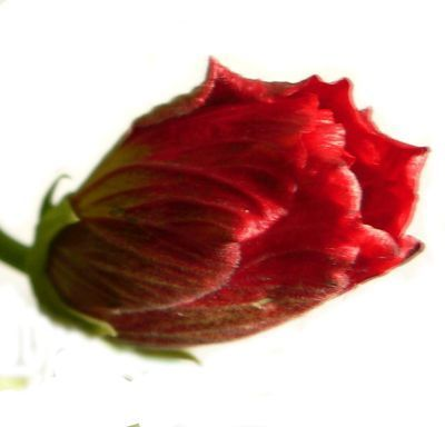 Cum se tunde trandafirul chinezesc