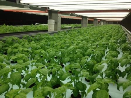 Vertical Farming is not dependent upon weather conditions. This is because the plants and crops are grown in a climate controlled area. In these places there is provision for artificial lighting and water solutions. Sunlight can be easily replaced by artificial lighting. Hence the growth of any kind of plant and crop is possible.