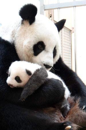 mother and baby panda bears | Mother and baby panda at Taipei Zoo, Taiwan - 03 Sep 2013