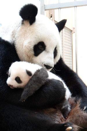 mother and baby panda bears | Mother and baby panda at Taipei Zoo, Taiwan - 03 Sep 2013