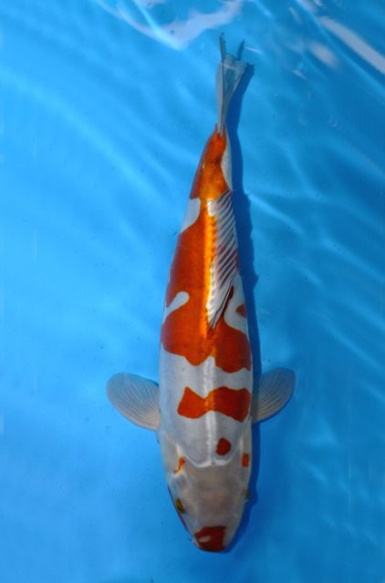 17 best images about koi on pinterest koi pond design for How much are koi fish worth
