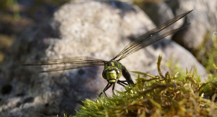 Hawker, Dragonfly, Insect, Close, Nature, Animal, Macro
