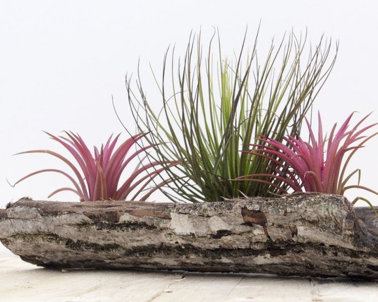 Terra Νova #Tillandsia #Airplants #Tropical #Forest #Collection