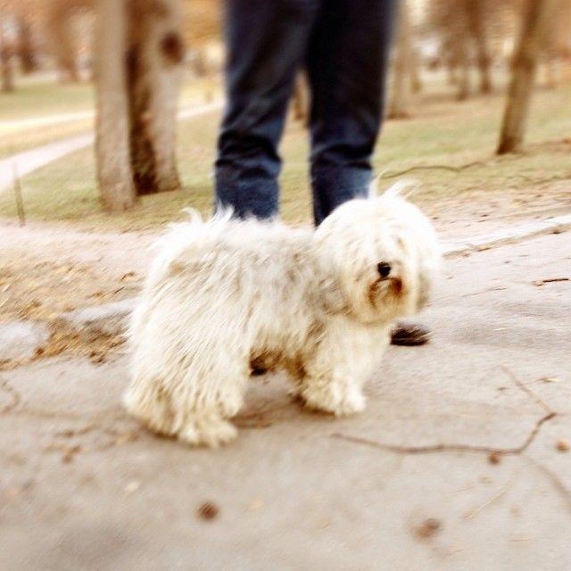 heididahlsveen:  Festus 5 år #bichonhavanais #byhund #hund #dog