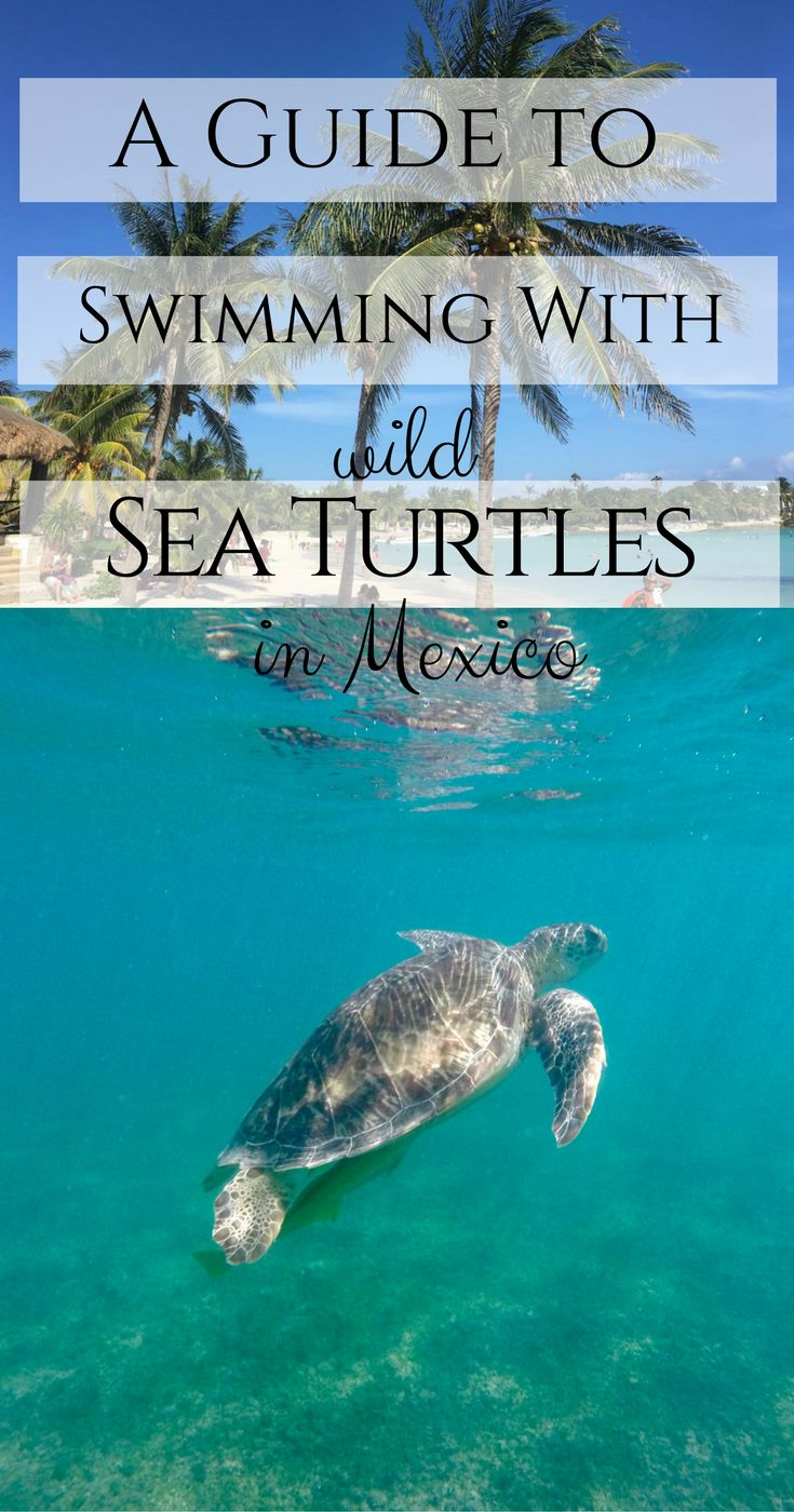 How to Swim with Wild Turtles in Akumal, Mexico. Akumal Beach, Mexico. Sea turtles in Mexico. Swim with turtles. Guide to swimming with sea turtles.