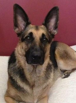 Army National Guard's missing dog shows up on someone else's Instagram! Could this be Zara? Find out how you can help! http://www.examiner.com/article/update-army-national-guard-s-missing-dog-suspected-to-be-south-carolina