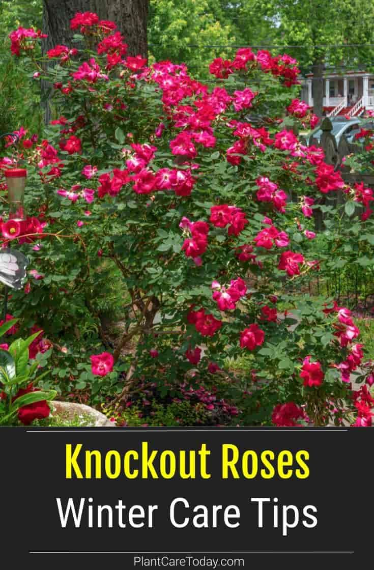 Knockout Roses Winter Care Tips Plant Care Today Knockout Roses Plants Pruning Knockout Roses