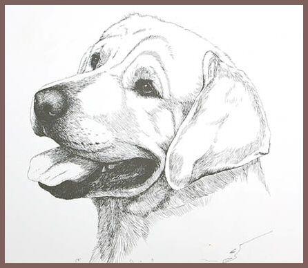 drawing labradors | labrador line drawing