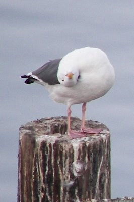 seagull, Morro Bay by S'mee via knotinthestring.b...
