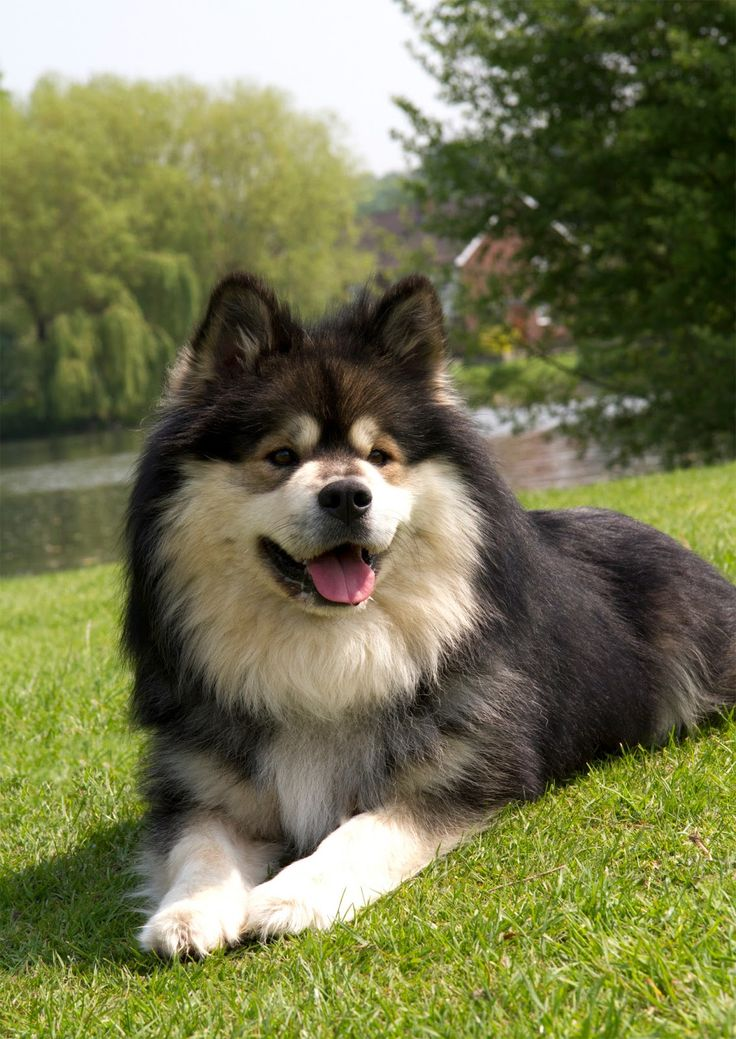 63 best images about Finnish Lapphund on Pinterest | The ...