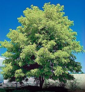 Thornless Honeylocust  Gleditsia triacanthos inermis        Fast Growing Flowering Tree      Yellow Fragrant Spring Flowers      Pollution, Salt, and Drought Tolerant      Grows 30 to 70', 50' Spread