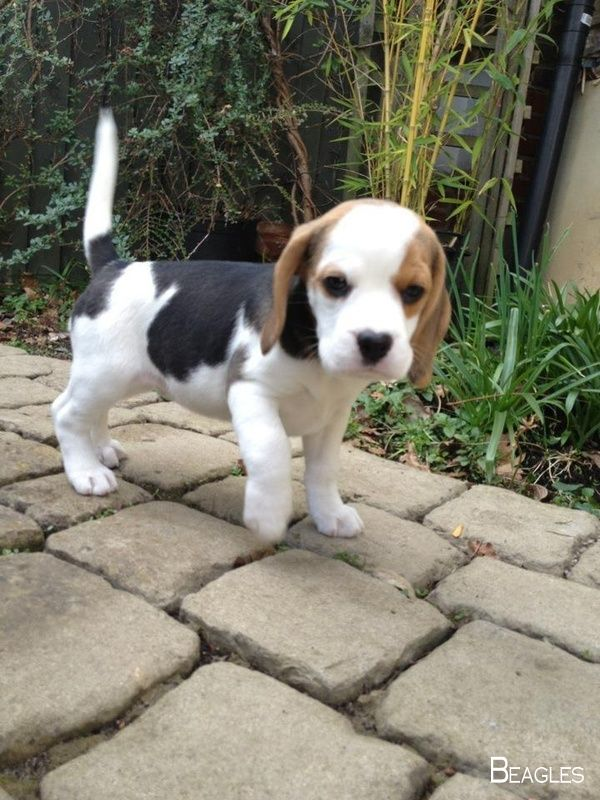 What A Baby Face Cute Dogs Cute Beagles Cute Baby Animals