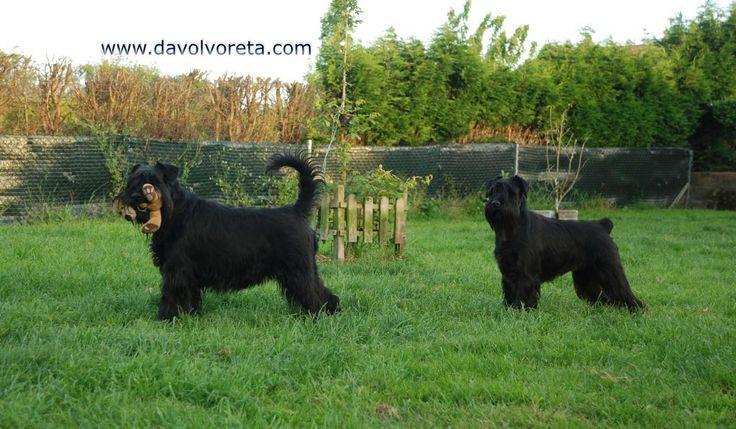 Spanish Star Grand Calvera and Kettle Da Volvoreta. Black standard schnauzer females / hembras de schnauzer mediano negro (madre e hija).