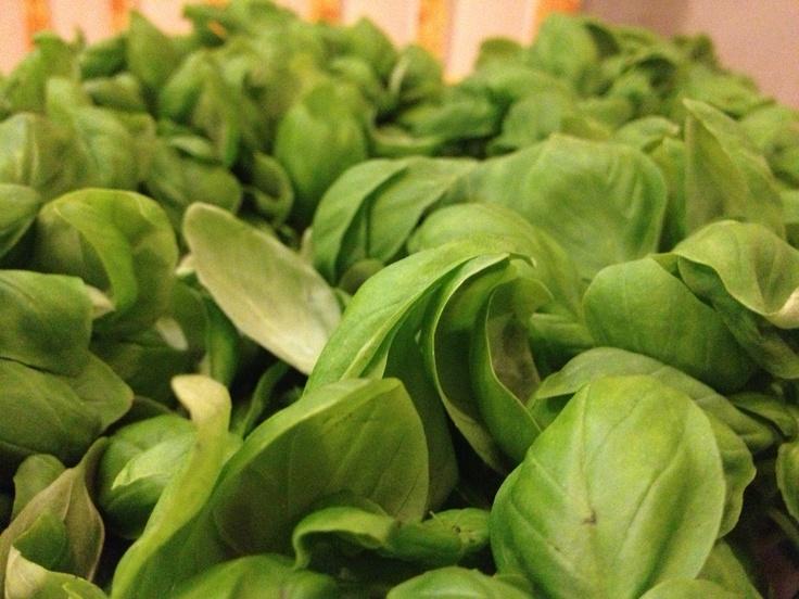 #Basilico uno degli ingredienti alla base di moltissime ricette tradizionali della cucina ligure #Liguria #GenovaGourmet