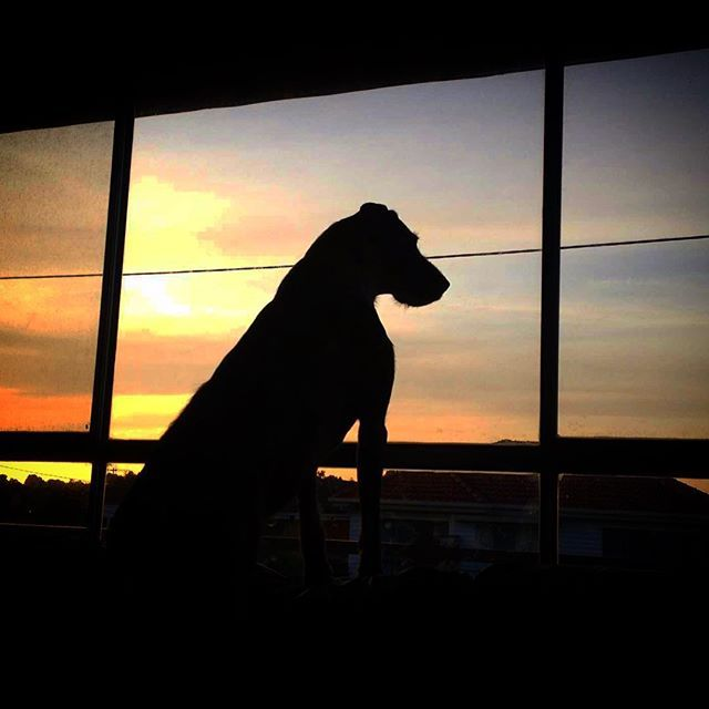 Perth's last day of winter reminding us all of beautiful but very wet South West Victoria. Inside looking Out  #wolfhound #greatdane #dog #silhouette #sunset #winter #rain #latergram #warrnambool #live3280 #love3280 #perthisok #bringiton #spring by katy.j.5