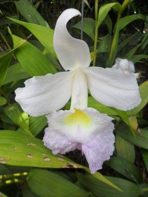 Bauhinia monandra of roze orchideeboom is een kleine tropische boom met prachtige roze bloemen die op orchideeën lijken.  De delicate bladeren zijn diep ingesneden waardoor ze op vlinders lijken.  Dit is een snelle groeier maar hij is niet winterhard. Je kan hem heel makkelijk kweken in pot, in de zomer mag hij naar buiten.