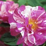 "The roses of yesteryear, collectively called old garden roses, are beautiful and fragrant. This guide gives informative information on ""How to Grow Old English Roses."""