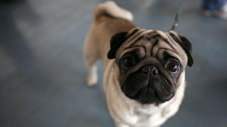 Pusteproblemer, kroniske øye-, øre- og hudsykdommer. Dyrebeskyttelsen vil forby avl på hunderaser med helseproblemer.