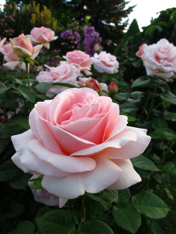 ach te róże....