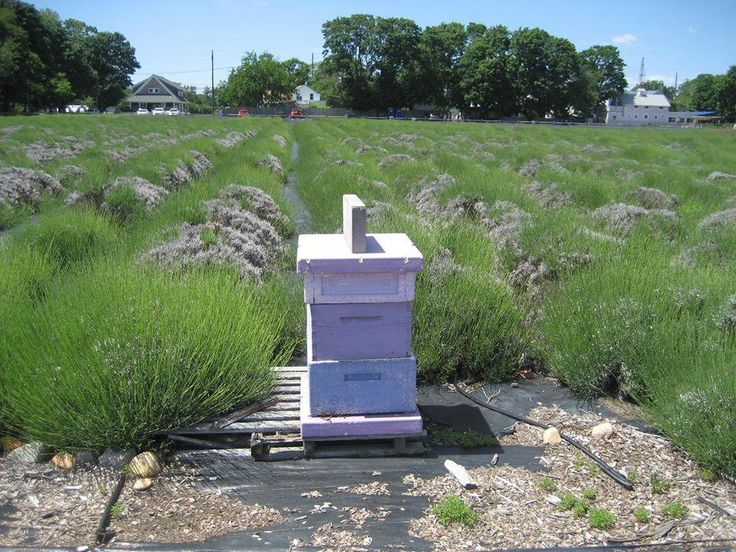 Lavender By The Bay (East Marion) 2018 All You Need to