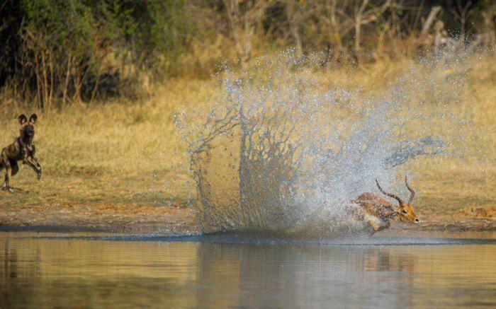 Близкий контакт 1 Это импала в реке Кхвай, Дельта Окаванго, гналась стая диких…