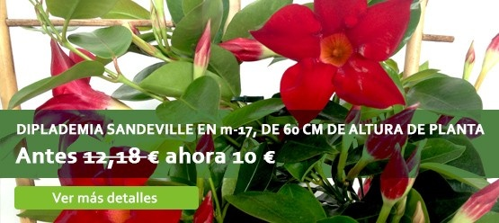 Diplademia Sandeville 60centímetros de altura, 10€ #oferta #jardinería