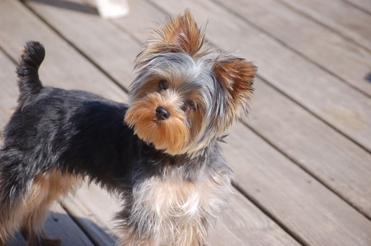 Ronnie - 8 month old Yorkie | Animal Photography | Puppies ...