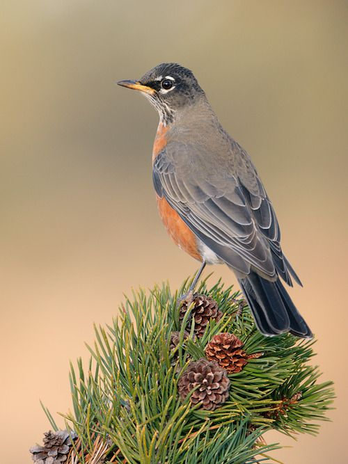 The American Robin - Turdus migratorius, is a migratory songbird of the thrush family. This species is distributed throughout North America, wintering from southern Canada to central Mexico and along the Pacific Coast. Photo by Jacob S. Spendelow.