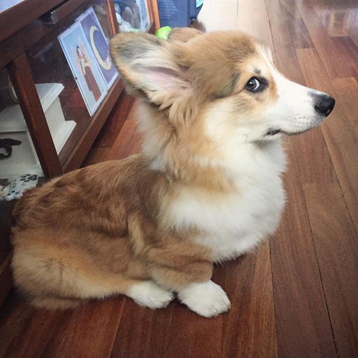"1,274 Likes, 22 Comments - Nick, KitKat & Scotty - Corgis (@nickthecorgi) on Instagram: ""Profile photo #ScottytheCorgi #puppy #corgi #magicgrovecorgis #welshcorgi #dog #corgisofinstagram…"""