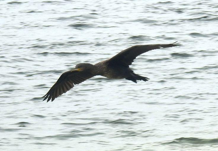 Langsvliegende aalscholver - Vogels - Aalscholver