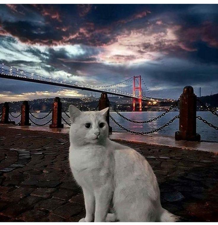 Istanbul , kedi , Bosphorus Bridge