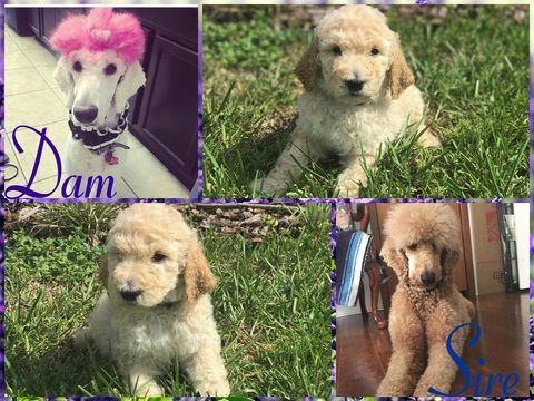 Poodle (Standard) puppy for sale in HAINES CITY, FL. ADN-44927 on PuppyFinder.com Gender: Male. Age: 6 Weeks Old