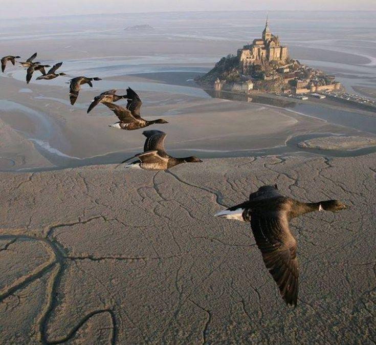 Oies sauvages survolant le Mont Saint-Michel (France)