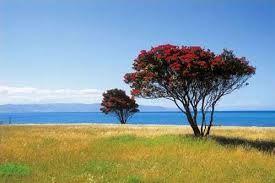 New Zealand Pohutukawa tree