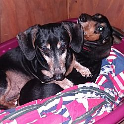 Available Pets At Rescue One In Springfield Missouri Dachshund
