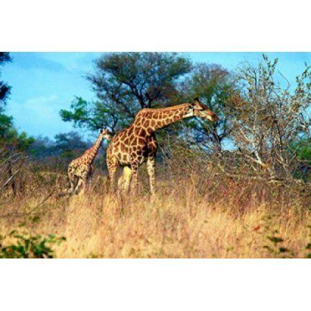 Adult and baby Cape Giraffe (Giraffa camelopardalis giraffa) Kruger National park South Africa Canvas Art - Miva Stock DanitaDelimont (32 x 22)