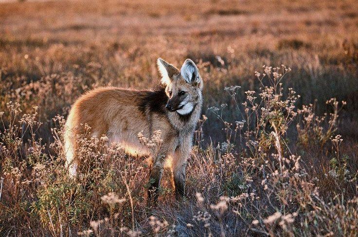Edição 137 - Lobo solitário - Lobo-guará fêmea