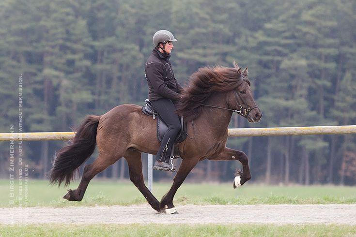 » Deckhengste Islandpferde - Burrishof Islandpferde- und Fjordpferde-Gestüt