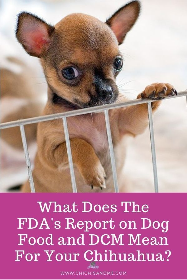 What Does The Latest Fda Report Mean For Your Chihuahua