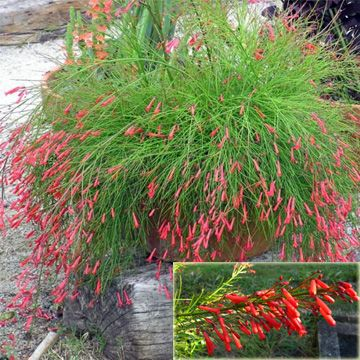 Russelia equisetiformis --the flower that hummingbirds are known to fight over!  (Firecracker Plant, Coral Plant, Coralblow, Fountain Plant) Hardy to 25 F, will put back out after a freeze.  half day sun best for hot windowboxes. Medium water. Dont let it dry out.