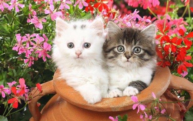 Double Cat Wallpaper Pixelstalk Net Cute Cat Wallpaper Kitten Wallpaper Beautiful Kittens