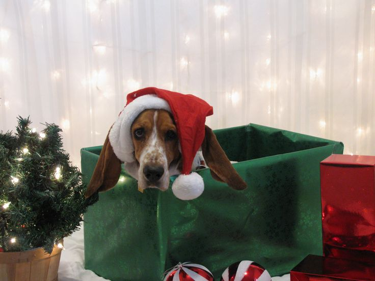 Our pup dog babysitter took these wonderful pics - Merry Christmas Basset Hound Style! Love, Rosie