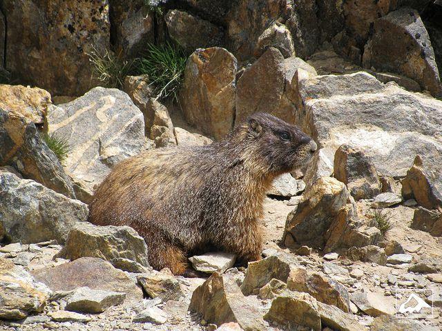 Marmot on Mount Elbert - Colorado by isaac.borrego, via Flickr