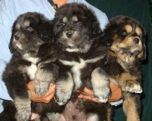 3 Big Tibetan Mastiff Puppies