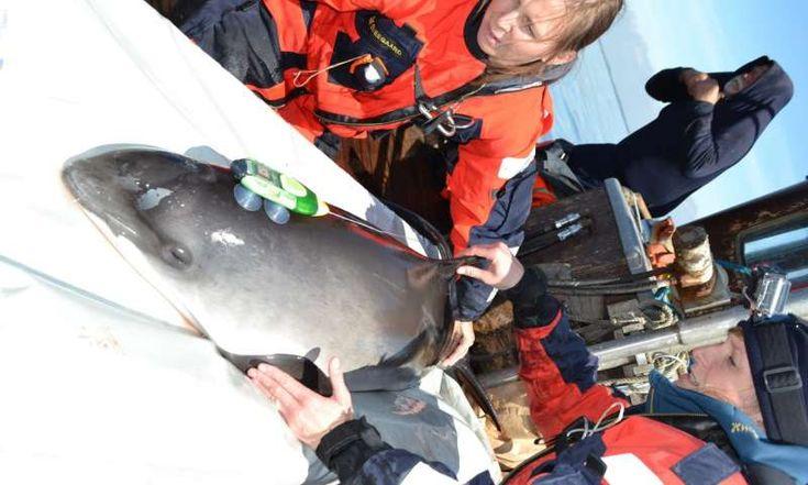 Noise pollution affects porpoises. Porpoises communicate ...