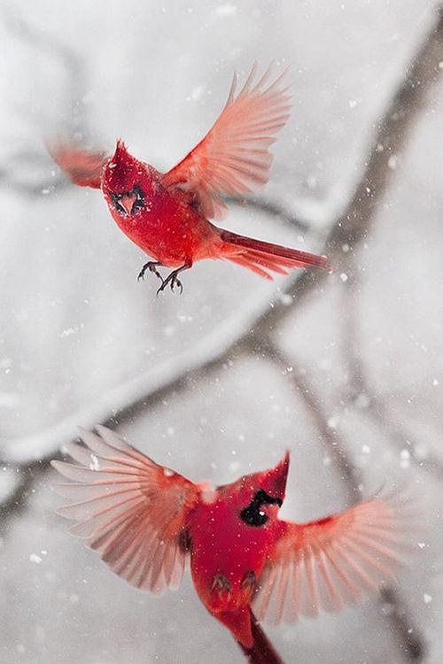 wonderous-world:  Cardinals in a Snowstorm by Gloria Wilson