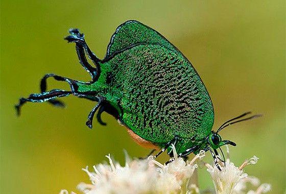 A borboleta Arcas imperialis mede cerca de 3 cm e possui duas caudas finas, longas e curvas em cada asa; fotografada em Boa Esperança do Sul, SP (Foto: © Antonio Candido de Almeida)